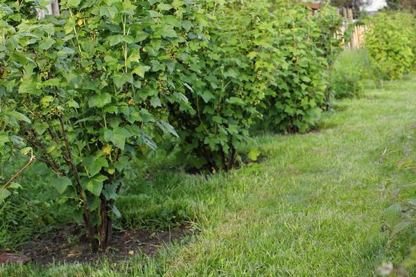 Удобрения для кустов смородины осенью