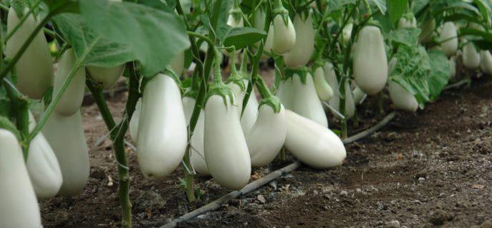 Описание и характеристики баклажана Бибо выращивание и уход