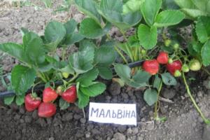Клубника Мальвина