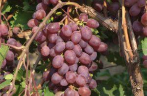 Как сажать виноград в Подмосковье осенью