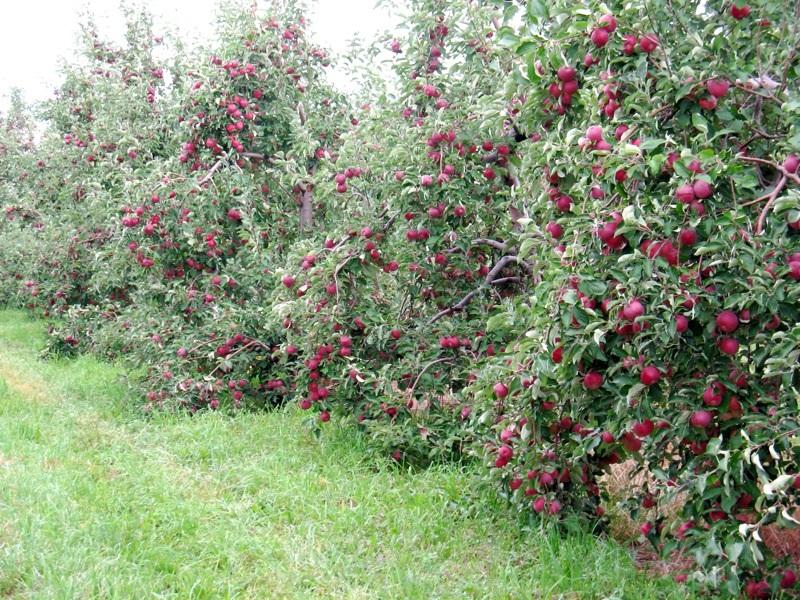 Описание яблони сорта Медуница посадка и уход за летним и зимним видом