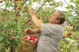 Яблоня осенью не сбросила листья