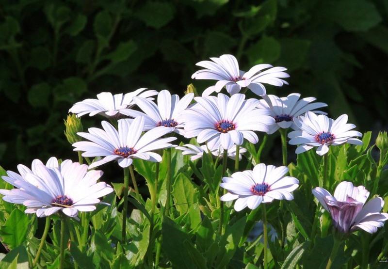 Однолетние стелющиеся цветы