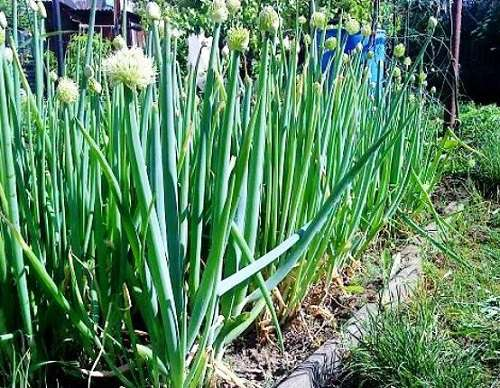 Как вырастить лук батун из семян в открытом грунте Посадка и уход Лук батун сорта