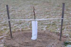 Как укрыть молодую яблоню на зиму