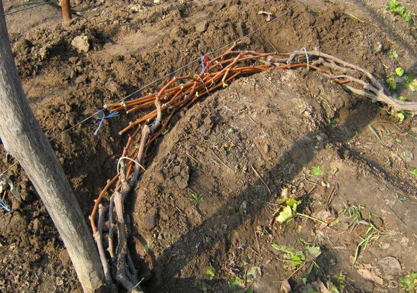 Подготовка винограда к зиме: подготовительные процедуры, уборка виноградной лозы на зимовку
