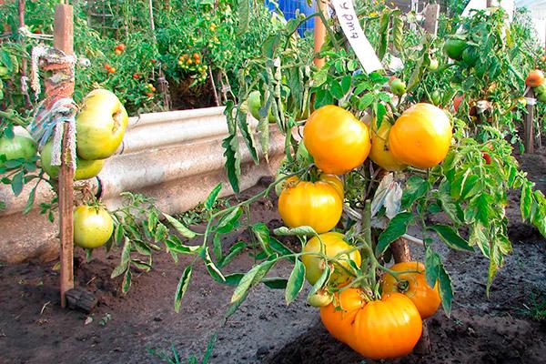 Хурма это помидор