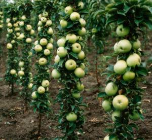 Как подкармливать яблони осенью