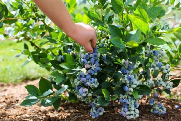 Голубика и черника — в чем разница и что полезнее