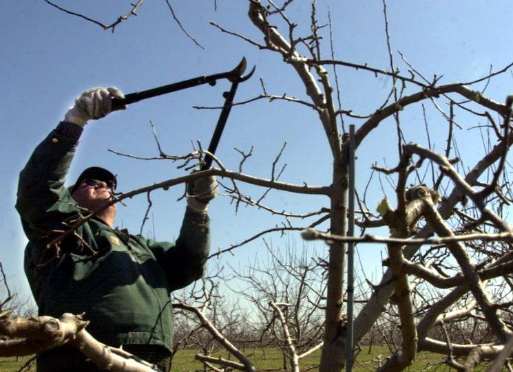 Обрезка яблонь осенью советы садоводам