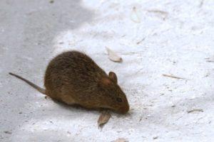 Что делать, если яблоню погрызли мыши