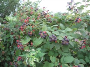 Сорт малины Кумберленд: посадка и уход, размножение