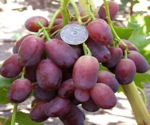 Виноград Ягуар