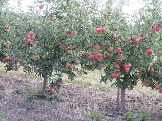 Яблоня флорина описание и характеристики сорта правила посадки и ухода