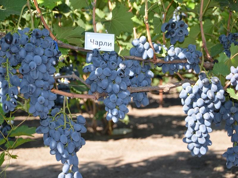 Виноград Чарли - описание сорта, фото, отзывы