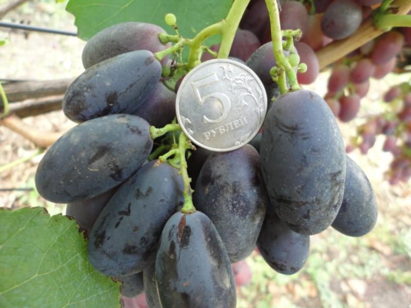 Тузловский виноград Великан, описание сорта виноград великан
