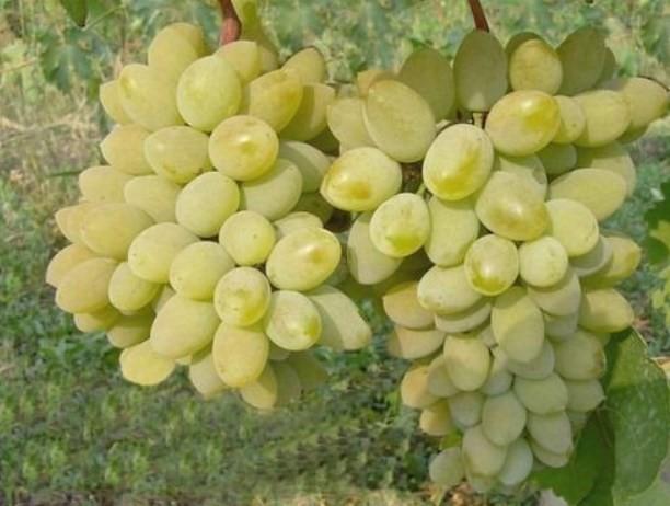 Виноград тимур описание, виноград розовый тимур, описание и отзывы