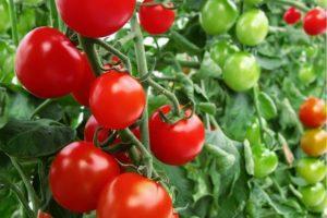 Томат Благовест: отзывы, фото, урожайность