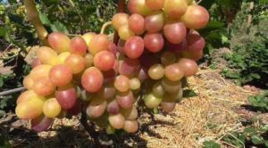 Виноград Тасон