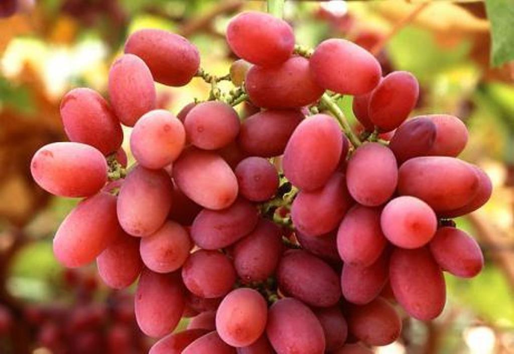 Сорт винограда Юлиан описание и фото