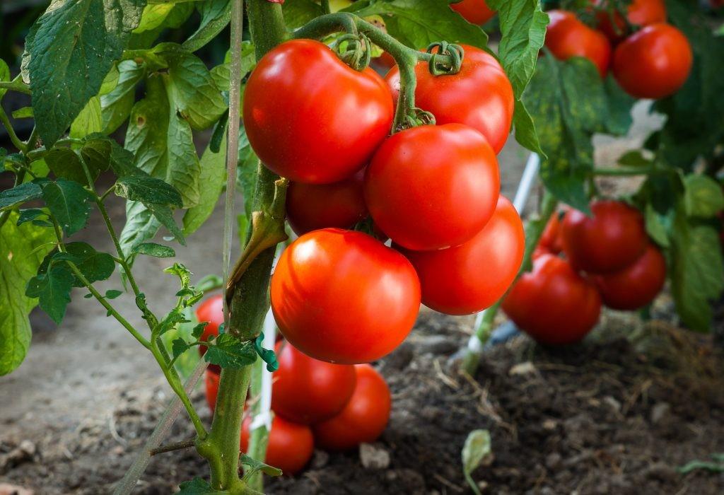 вид томат таня отзывы и фото стальным будет твоё