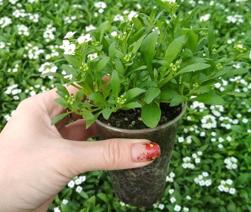 Как выращивать алиссум из семян