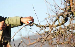 Как омолодить яблоню обрезкой