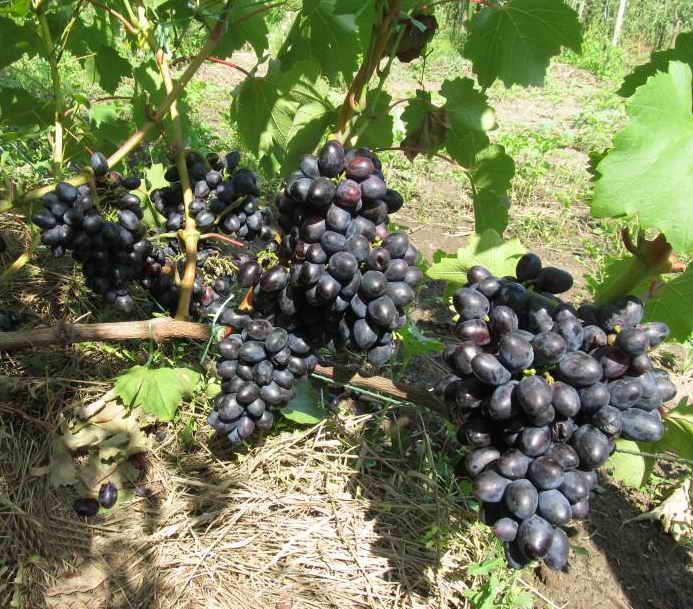 Виноград Кодрянка описание сорта с фотографиями