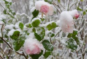 Как утеплить розы на зиму видео