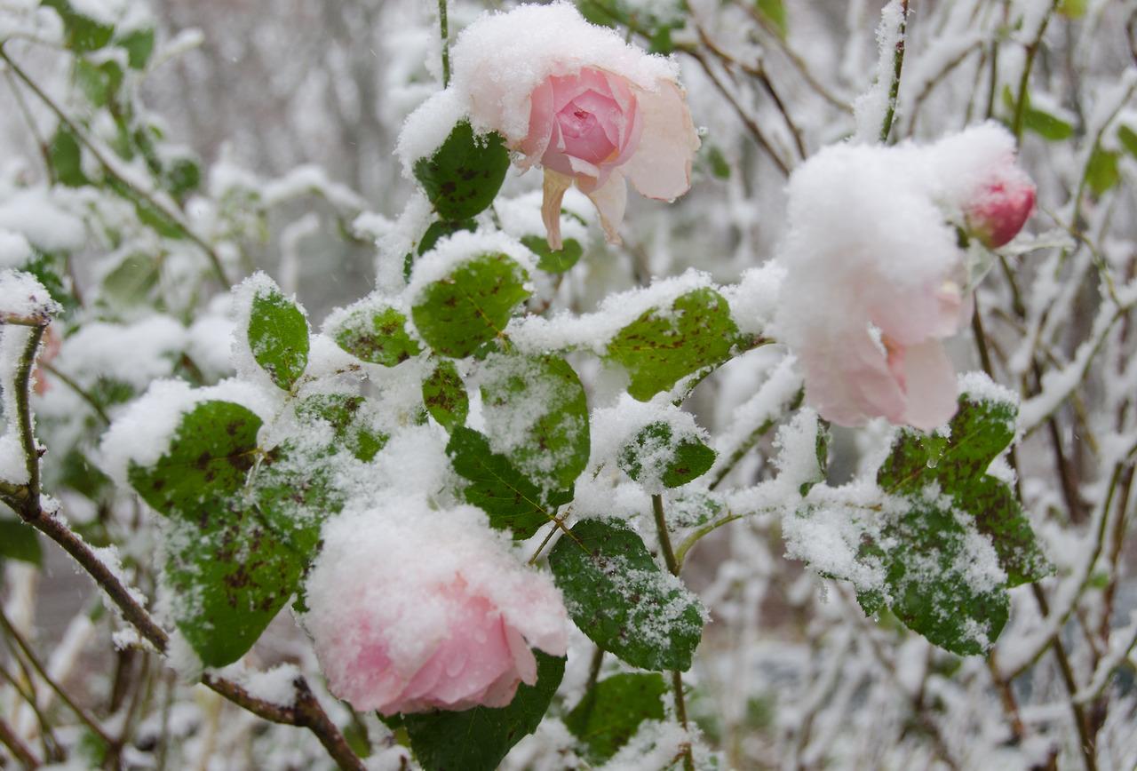 Как укрыть розы на зиму в Поволжье