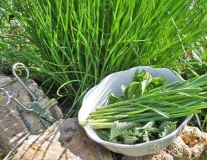 Выращивание лука-батуна из семян