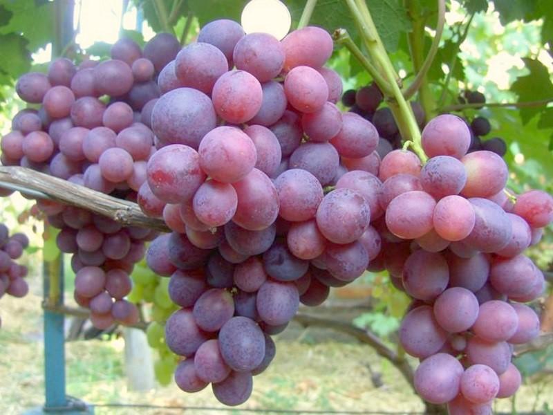 Сорт винограда Заря Несветая: фото, отзывы, описание, характеристики.