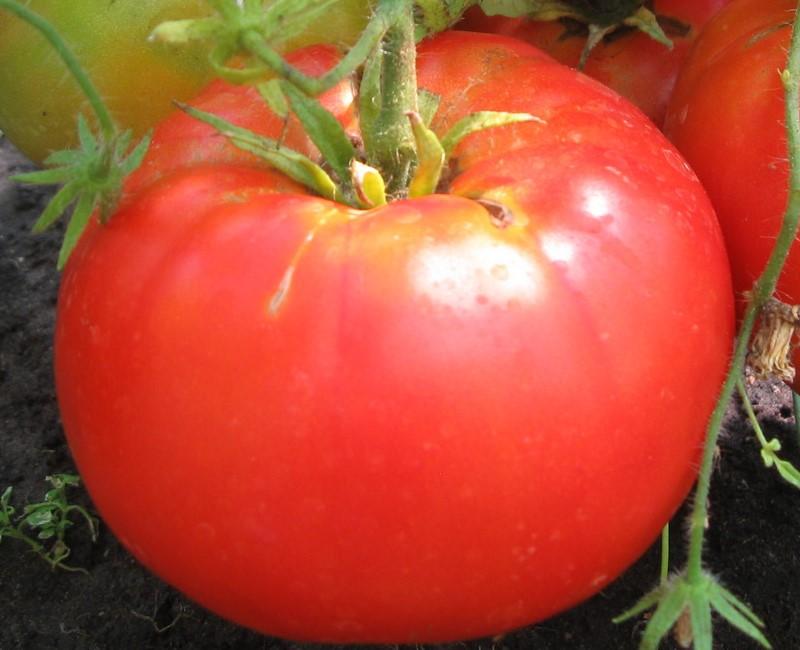 Томат бабушкина гордость характеристика и описание сорта урожайность с фото