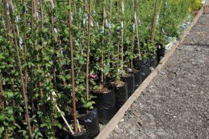 Когда сажать саженцы плодовых деревьев весной