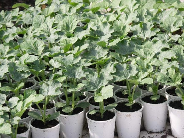 Выращивание рассады арбузов - Мамин советник