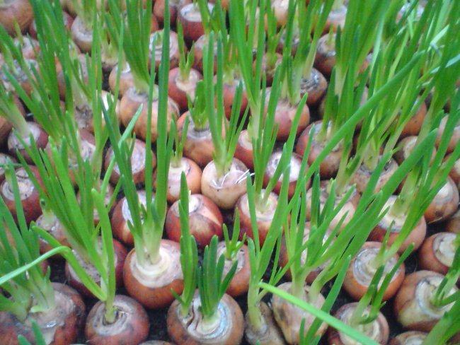 Зимняя теплица для зеленого лука