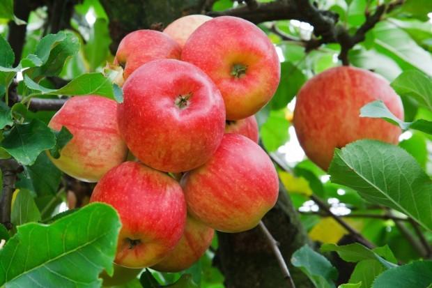 Яблоня Серебряное копытце 🍎 : характеристика, описание сорта, фото, посадка и уход 🌱 Все о посадке и выращивании
