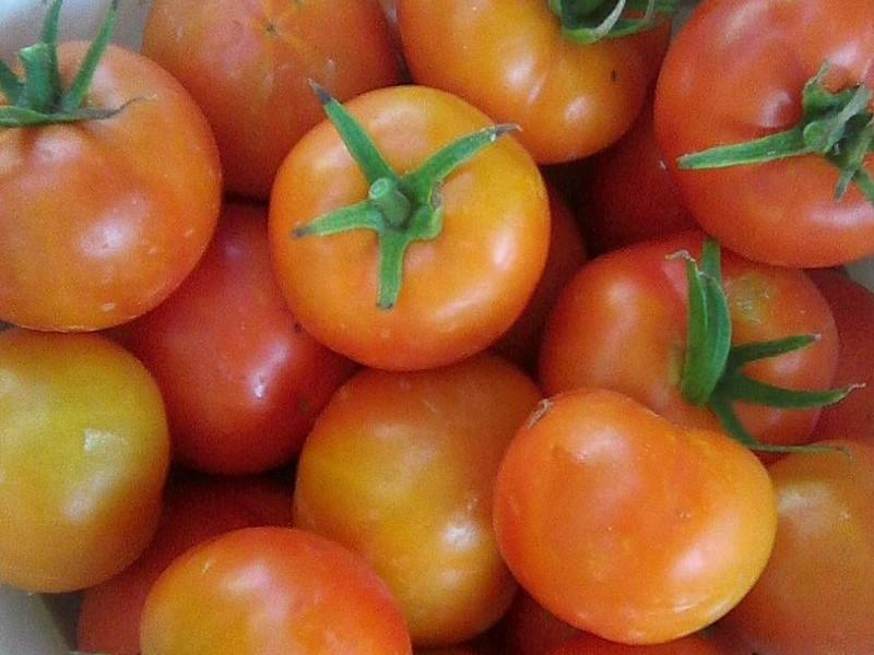 Томат Екатерина описание сорта урожайность и выращивание с фото