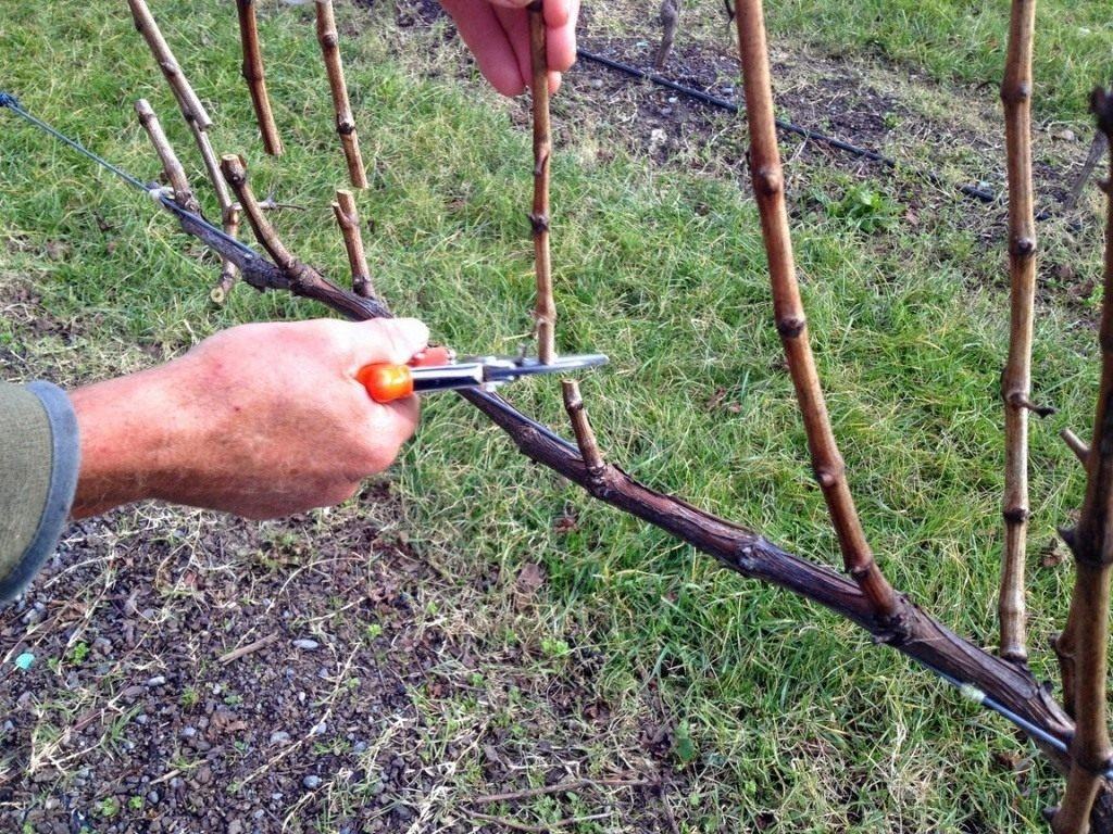 Обрезка винограда весной когда и как правильно обрезать Сроки схема