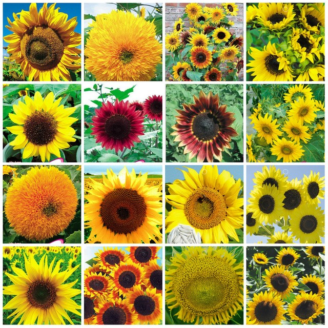 Однолетние цветы для дачи: самые неприхотливые однолетники для сада