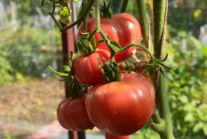 Томат Дикая роза: отзывы, фото, урожайность
