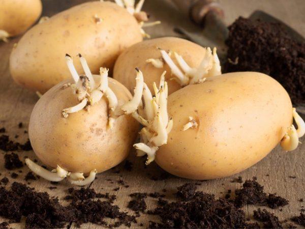 Как проращивать картошку перед посадкой