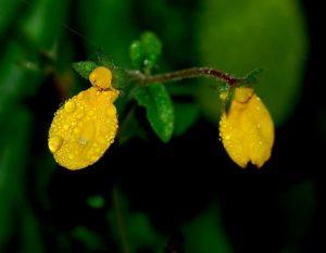 Кальцеолярия: фото, как вырастить из семян