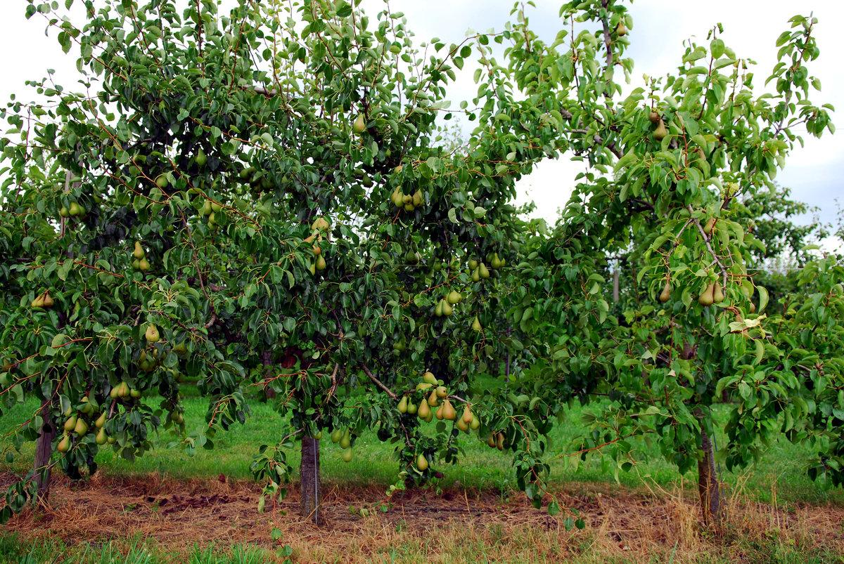 Совместимость яблони и сосны