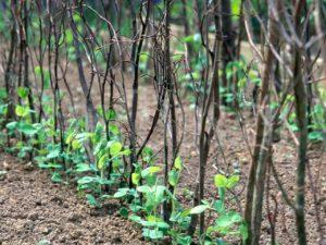 Как подвязать горох в открытом грунте к естественной опоре