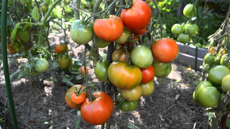 Дубок семена томатов