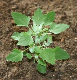 Вредный сорняк или природный лекарь? Знакомьтесь: трава мокрица