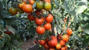 Томат Снегирь: отзывы, фото, урожайность