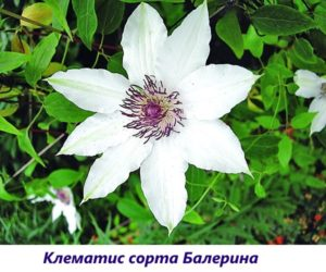 Клематисы в Сибири