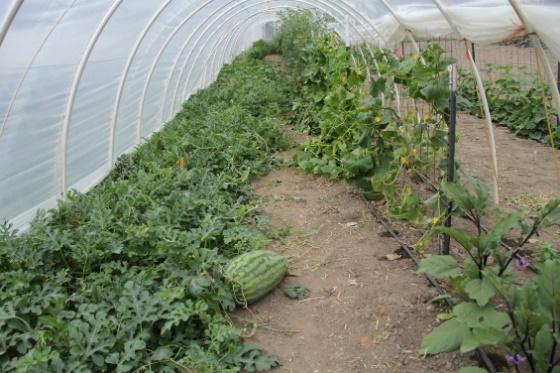 Выращивание арбузов в теплице посадка и уход схема формирования с фото